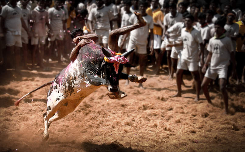 Jallikattu: A disputed traditional sport in Tamil Nadu