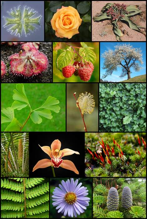 Plant: Kingdom of mainly multicellular, predominantly photosynthetic eukaryotes