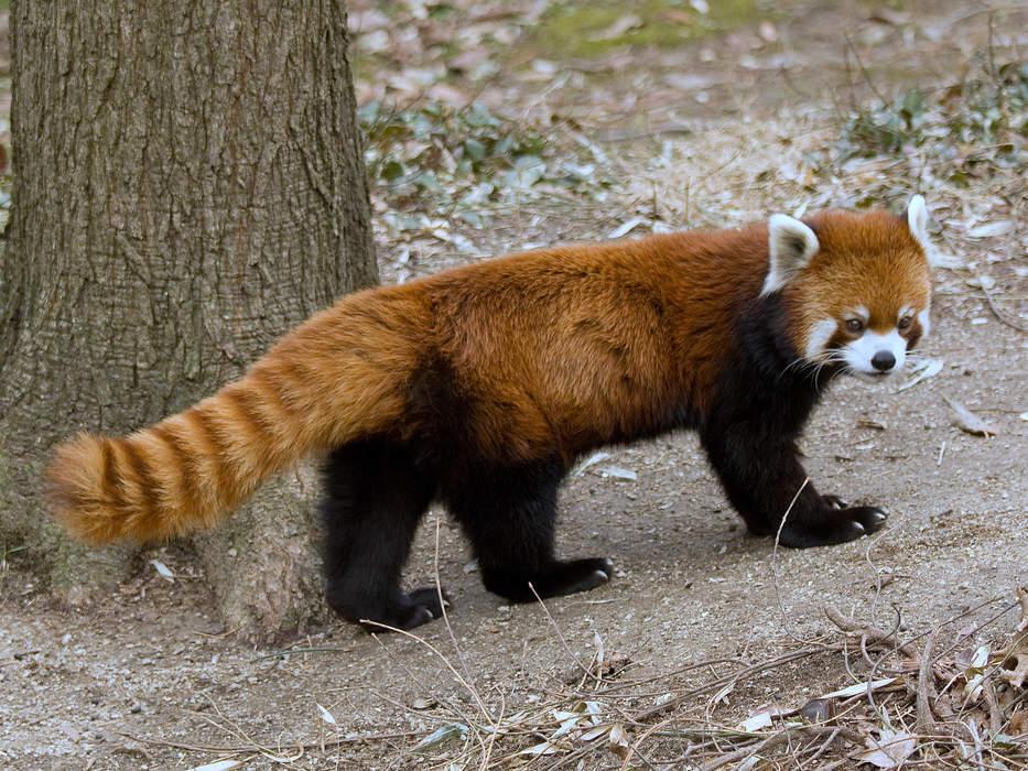Red panda: Species of mammal