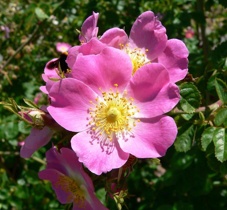Rose: Genus of plants