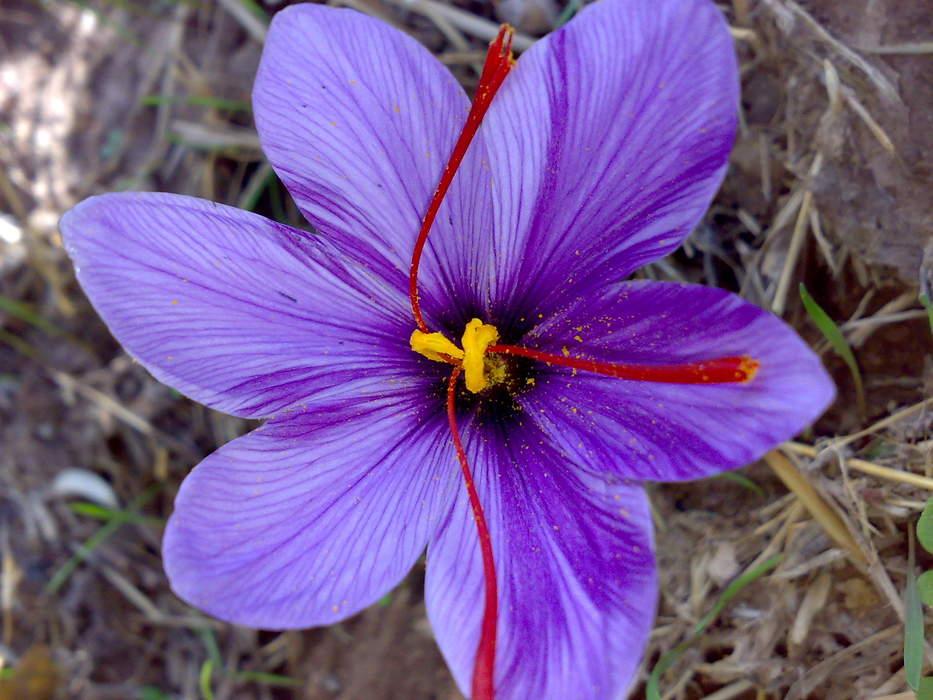 Saffron: Spice made from crocus flowers