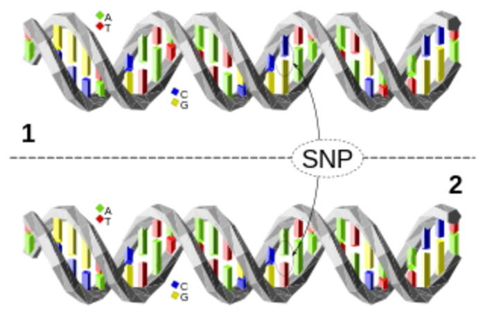 Single-nucleotide polymorphism: Single nucleotide position in genomic DNA at which different sequence alternatives exist