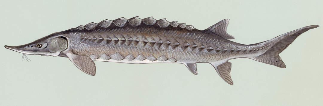 Sturgeon: Ray-finned fish